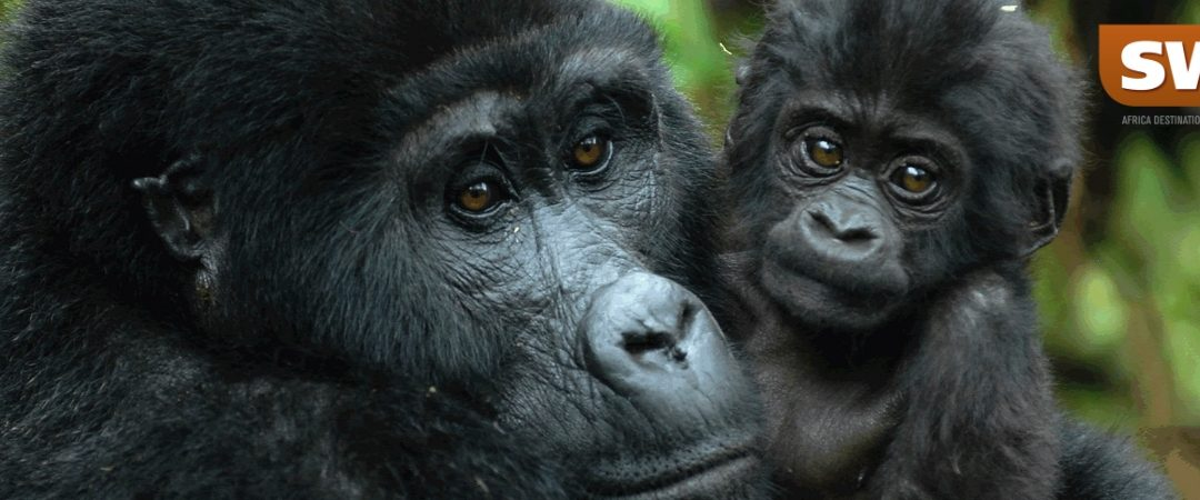 Rwanda or Uganda? Where to view the Mountain Gorilla trekking?