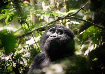 Rwanda & Uganda Gorilla Tracking